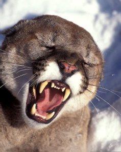 Portrait of a growling captive Mountain Lion