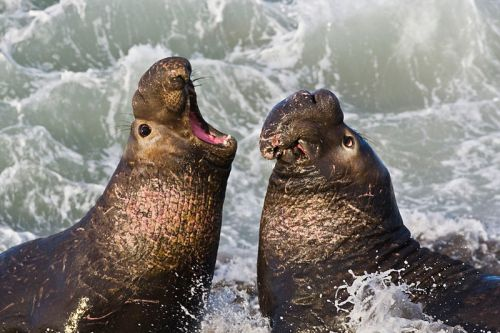 Northern Elephant Seals. Photo by Mike Baird. Wikimedia Commons.