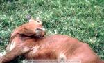 Rabies. Cow dying of rabies.  Copyright ITM