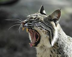 RabidBobcat