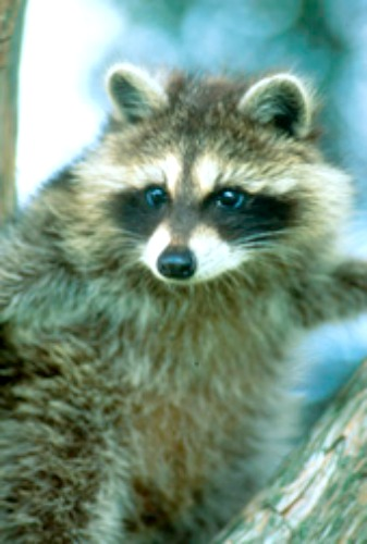 Raccoon. Photo by Ohio Department of Natural Resources.