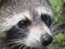 RaccoonFWS