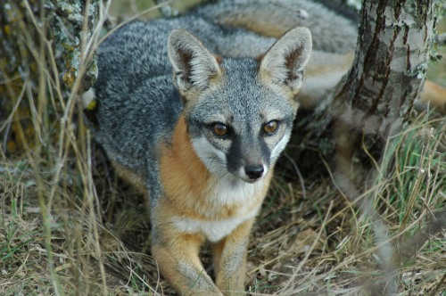 Gray fox. Courtesy U.S. Department of Agriculture.