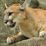 2-mountain-lion-yellowstone-park