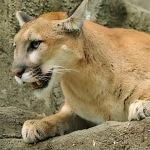 2-mountain-lion-yellowstone-park