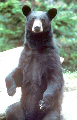 Black bear. Courtesy U.S. Fish & Wildlife Service.