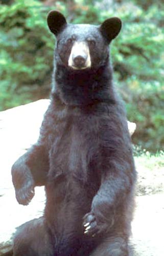 Black bear. Courtesy U.S. Fish & Wildlife Service.