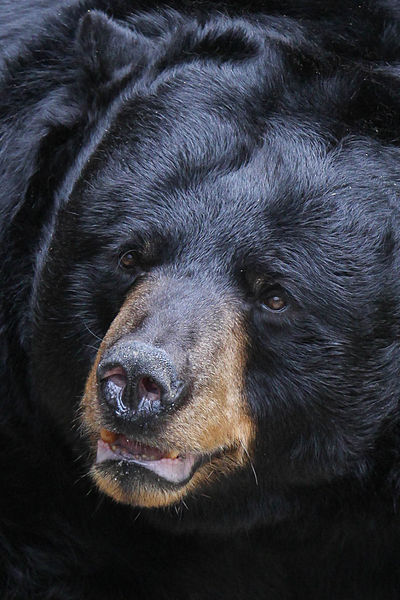 Black bear. Photo by Mark Dumont. Wikimedia Commons.