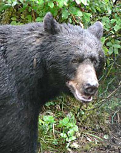 Black bear. Photo by Alaska Dept. of Fish & Game.