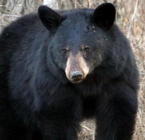 Black bear. Courtesy U.S. Dept. of Agriculture