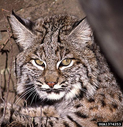 Bobcat. Photo courtesy U.S. Department of Agriculture.