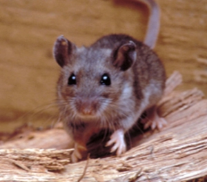 Deer mouse. CDC.