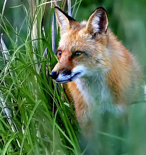 Eastern Red Fox. Photo by William H. Majoros. Wikimedia Commons.