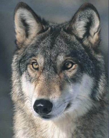 Gray wolf. Photo by North Dakota Dept. of Agriculture.