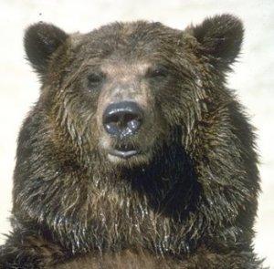 grizzlybear_ca.gov-001