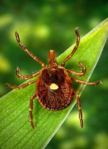 Lone Star tick. CDC.