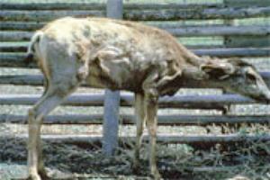 Mule deer doe with CWD.