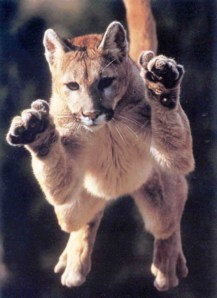 pouncing-cougar