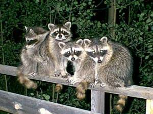 raccoons12 - Copy