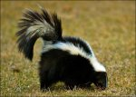 skunk-picture