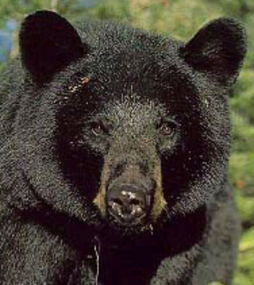 Black bear. Courtesy U.S. Department of the Interior.
