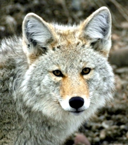 Coyote. Courtesy National Park Service.