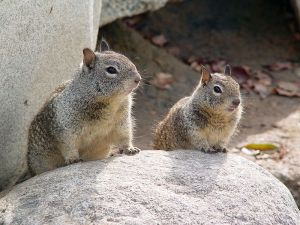 California ground squirrels. Photo by Howcheng. Wikimedia Commons.