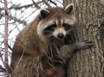 800px-Raccoon_female