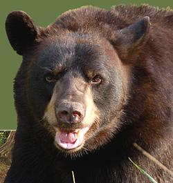 bear-face235