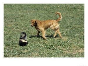 dog_skunk_338171703