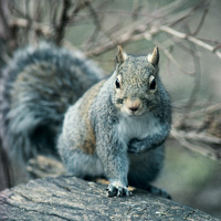 fw-gray-squirrel-Indiana.gov