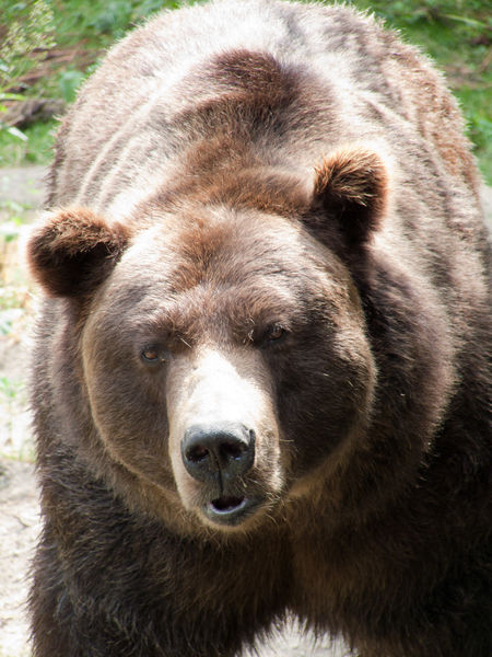 Grizzly bear. Photo by Jitka Erbenova. Wikimedia Commons.