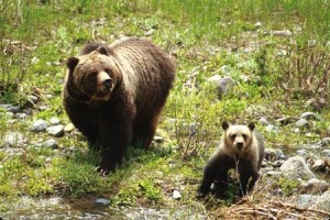 Grizzly_Bear_sow_and_cub_in_Shoshone_National_Forest_USDA
