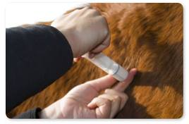 Livestock can be vaccinated for rabies.