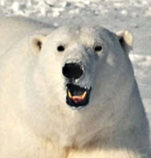 Polar bear. Courtesy U.S. Geological Survey.