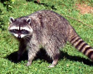raccoon_2MainSpring_1