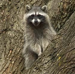 Raccoon_NPS51248