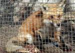 trapped%20fox%20030506