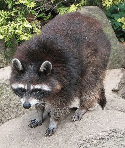 506px-Raccoon_(Procyon_lotor)_1_Darkone_WC