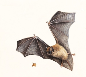 6735_Pip%20Bat%20Chris%20Shields%20(rspb-images_com)