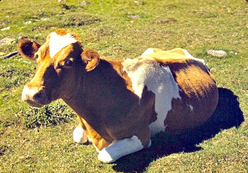 Guernsey cow. Courtesy of U.S. Department of Agriculture.
