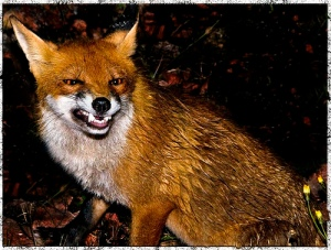 angry-fox