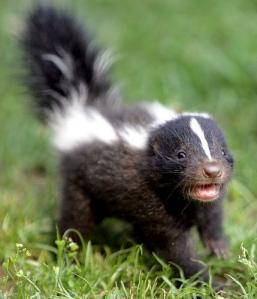 baby-skunk5b5j - Copy