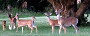 deerwhitetailnps