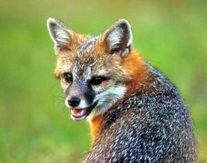 gray-fox54216
