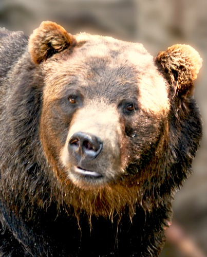 Grizzly. Photo by Rennell Stowe. Wikimedia Commons.