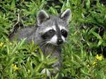 raccoon1545
