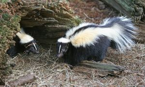 800px-Striped_Skunk-300x180 - Copy