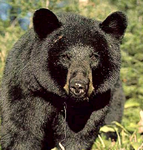 Black Bear. Photo courtesy of U.S. Department of the Interior.