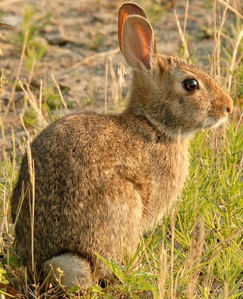 Eastern Cottontail is the most common rabbit found on Nantucket Island. Photo courtesy U.S. Fish & Wildlife Service.